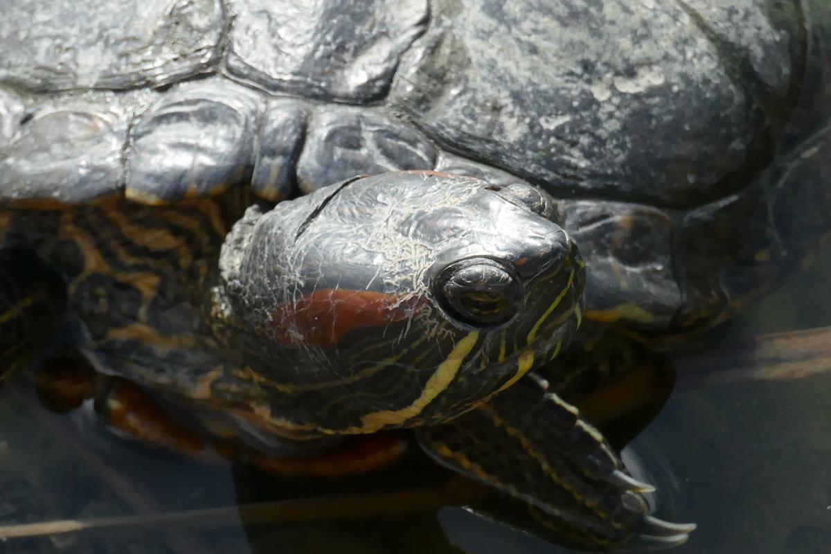 Europäische Wasserschildkröte